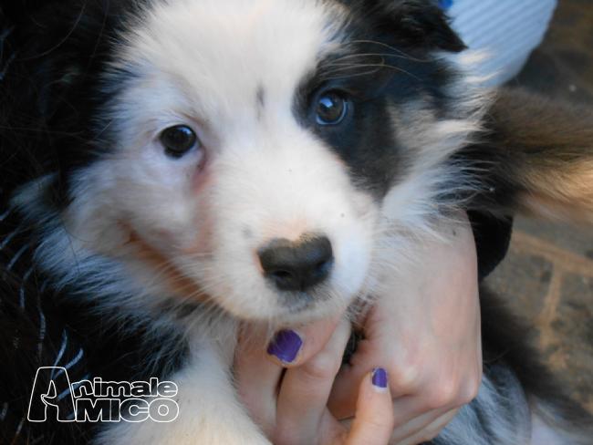 Vendita cucciolo australian shepherd da privato a varese for Cani giocherelloni