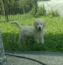 Vendita golden retriever cuccioli con pedigree