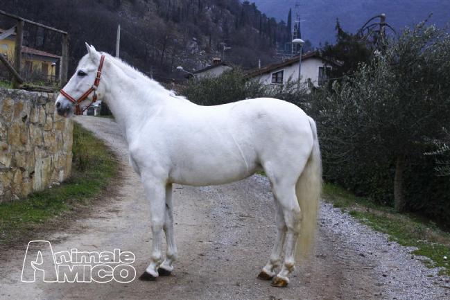 Vendita andaluso da privato a brescia cavalla andalusa p r for Cavalli bolzano