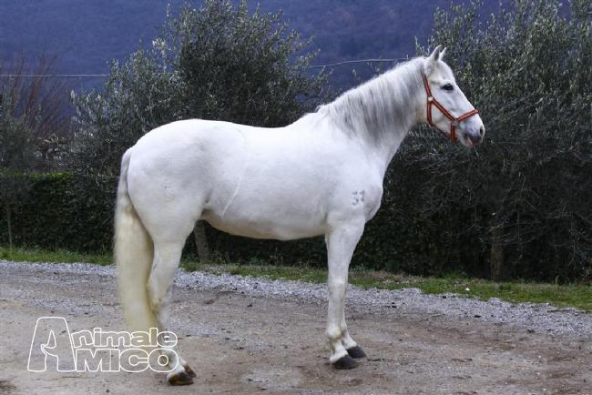 Vendita andaluso da privato a brescia animali da cortile for Cavalli bolzano