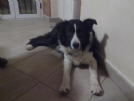 border collie cerca compagna