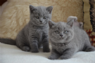 british shorthair gattini in cerca di una casa