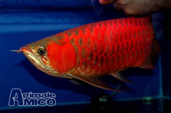 Vendita da privato a rm pesciin vendita qualit arowana for Vendita pesci