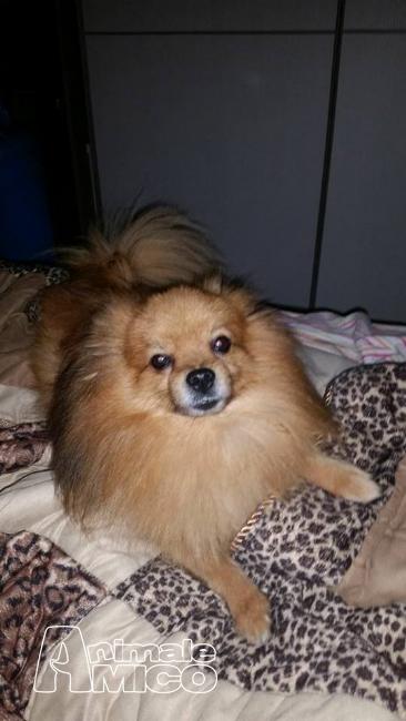 Vendita cucciolo spitz tedesco nano da privato a roma for Spitz tedesco nano