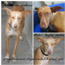malvi, podenco taglia media