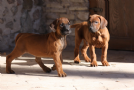 rhodesian ridgebacks in umbria