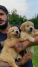 cuccioli golden retriever alta genealogia