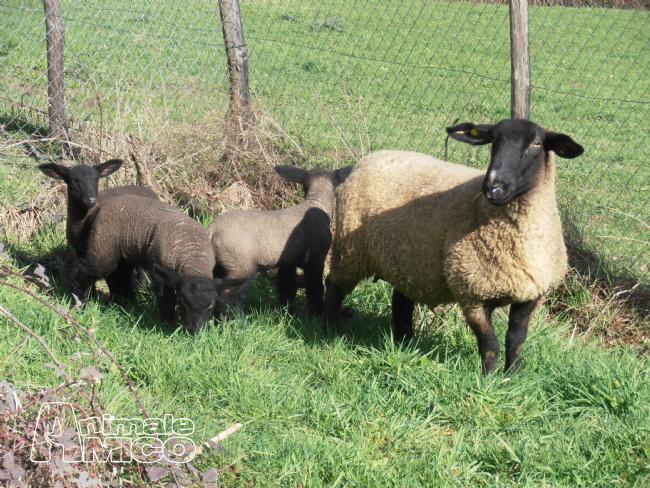 Vendita agnello da privato a arezzo animali da cortile for Cavalli in vendita in trentino
