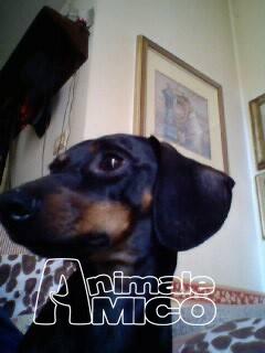 Cerco bassotto da privato a milano cani bassotto in cerco for Cerco divano in regalo milano
