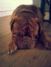 hutch dogue de bordeaux di 2 anni cerca casa