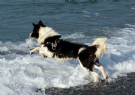 accoppiamento border collie provincia di imperia