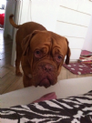 Regalo cucciolo dogue de bordeaux in affido