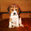 disponibile cucciola di beagle