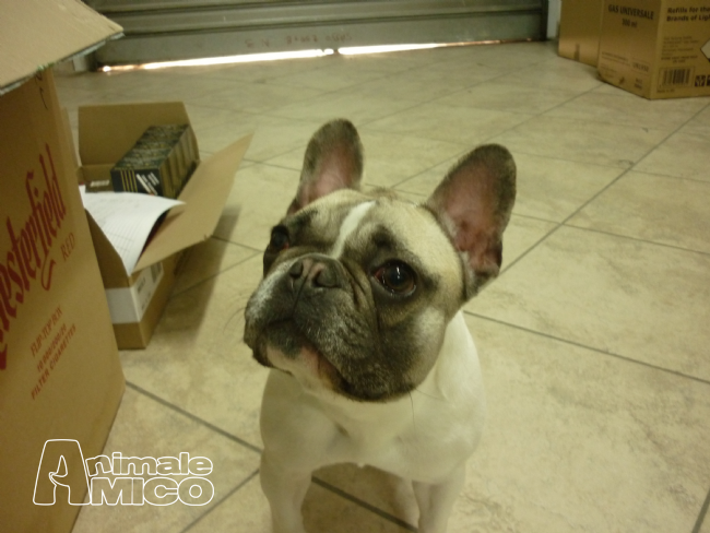 Search results for cerco bulldog francese in regalo for Cerco oggetti in regalo