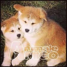 Vendita cucciolo akita inu da allevatore a perugia cani for Cani giocherelloni