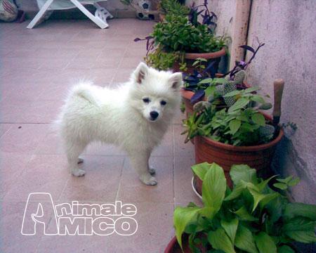 Cerco cucciolo spitz tedesco nano da privato a roma cani for Cane volpino nano