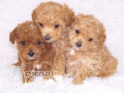 Vendita cucciolo barboncino da negoziante a napoli cani for Cane barboncino toy