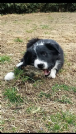 Vendita cuccioli border collie - all. wacky races' gang