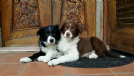 cuccioli border collie - all. wacky races' gang