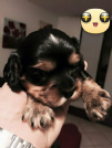 Vendita cavalier king black and tan maschio