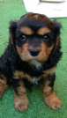 cavalier king black and tan maschio