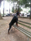 dobermann peer accoppiamento