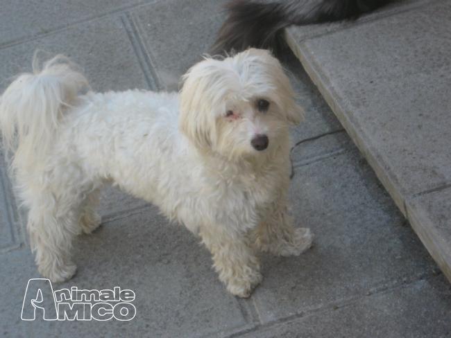 Vendita maltese da privato a pistoia cani maltese in for Cane razza maltese
