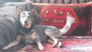 cattle dog maschio cerca femmina per accoppiamento
