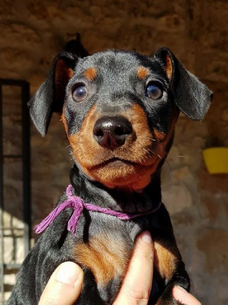 Vendita cucciolo pinscher da privato a terni cani for Pincher cucciolo