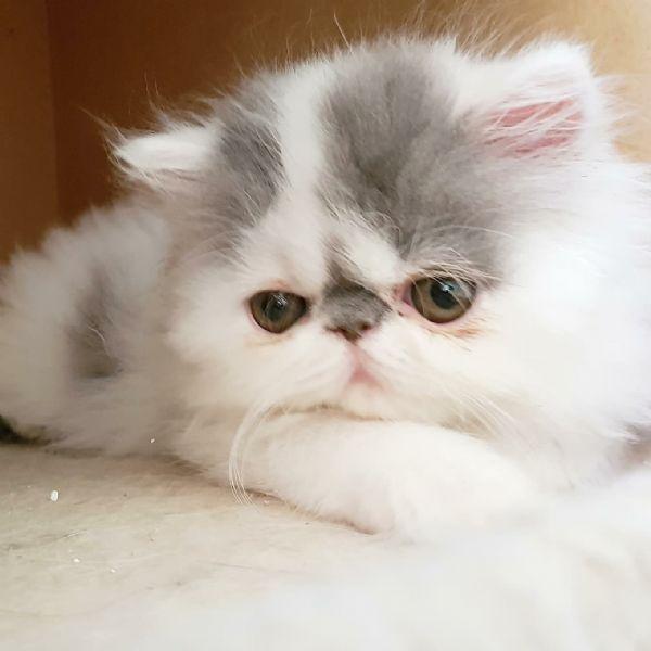 Vendita Cucciolo Persiano Da Privato A Rovigo Cuccioli Gatti Persiani
