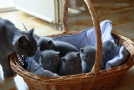 micetti british blue shorthair