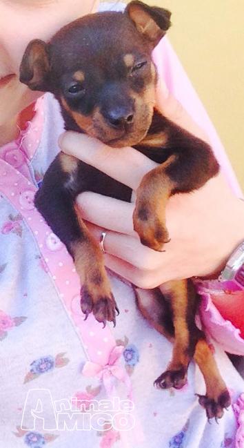 Vendita cucciolo pinscher da privato a roma cani pinscher for Pinscher nero