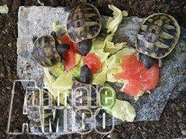 Vendita cucciolo da privato a al rettiliin vendita cedo for Piccole tartarughe di terra