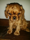 cucciolo cavalier king con pedigree
