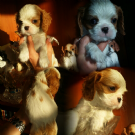 cuccioli cavalier king con pedigree