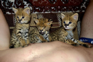 gattini serval e f1 savannah disponibili