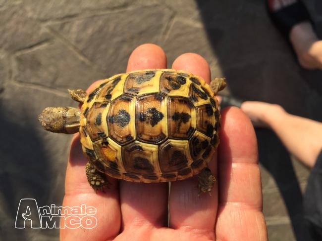 Vendita cucciolo testudo hermanni da privato a monza e for Cerco acquario per tartarughe