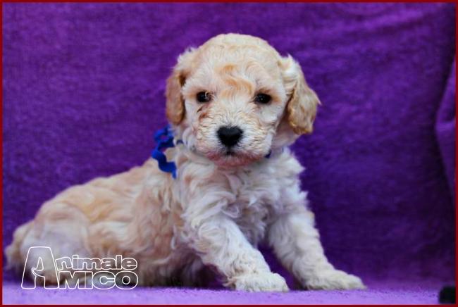 Vendita cucciolo barboncino da privato a trieste cani for Barboncino nano toy