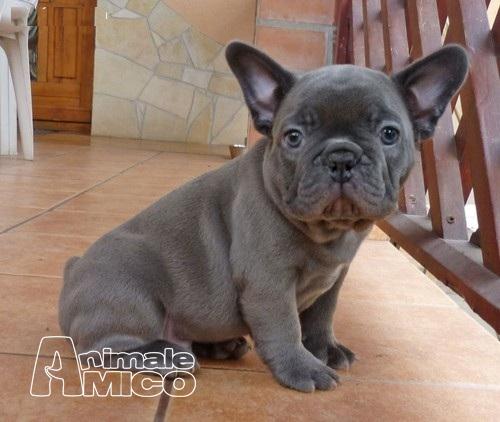 Cerco bulldog inglese in regalo for Bouledogue inglese