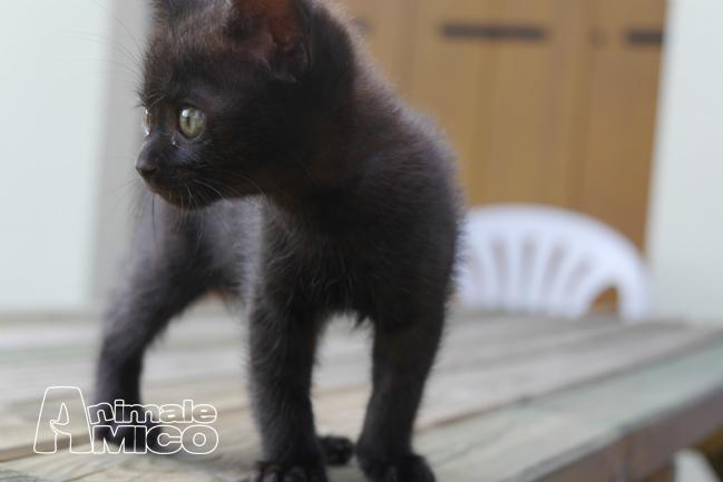 Offro In Regalo cucciolo da Privato a VI gattini neri molto teneri e vivaci
