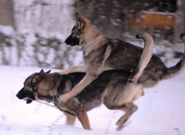 Cerco cucciolo pastore tedesco da privato a cani pastore for Cerco sedie in regalo