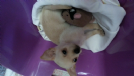 Vendita chihuahua mini toy femmina