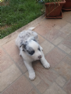 cuccioli border collie blu merle red bianco nero marrone