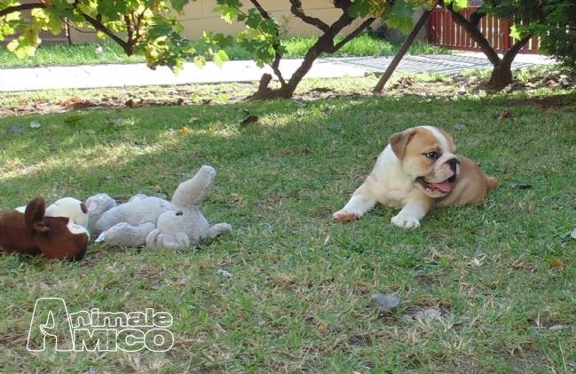 Vendita cucciolo bulldog da privato a rovigo cani bulldog for Cani giocherelloni