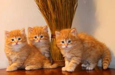 Regalo cuccioli di gatto catania