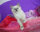 gattina ragdoll con pedigree,qualita' show