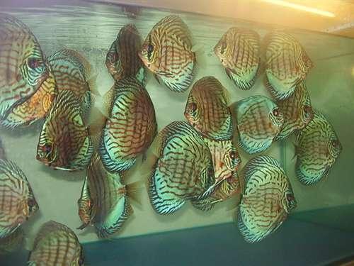 Vendita da privato a pesciin vendita discus pesci for Vendita on line pesci tropicali