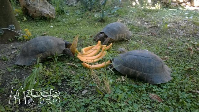 Vendita cucciolo testudo marginata da privato a foggia rettili testudo marginata in vendita for Prezzo tartarughe