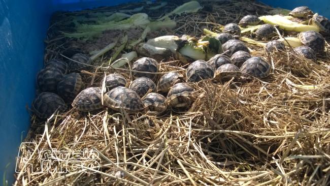 Vendita cucciolo testudo marginata da privato a foggia for Cerco acquario per tartarughe