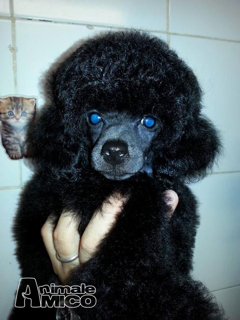 Vendita cucciolo barboncino da privato a livorno cani for Cerco tavolo in regalo